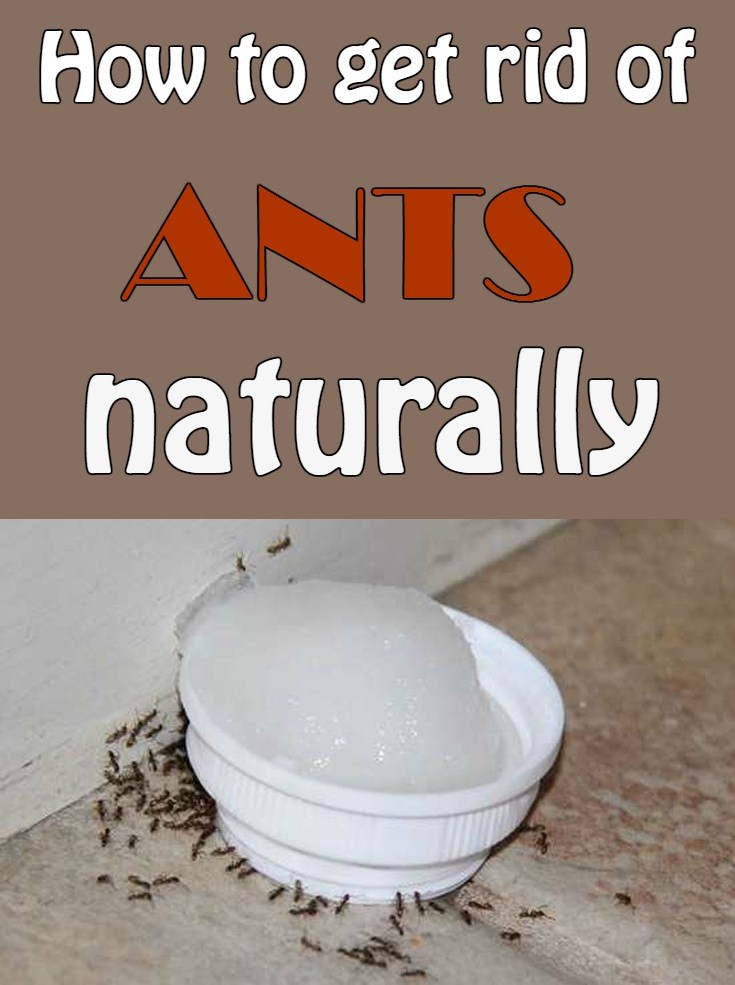 How To Get Rid Of Ants Naturally Cleaninginstructor Com