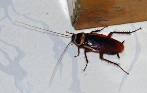 Non-Toxic Way To Keep Kitchen Roaches Away