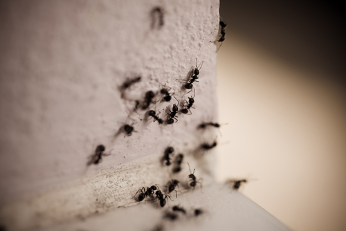 7 Organic Ways To Kill Ants For Good